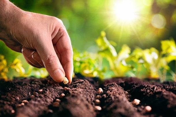 Saatgut wird gepflanzt